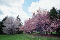 Blooming star and saucer magnolia trees, New York, USA. by Panoramic Images