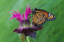 Viceroy butterfly (Limenitis archippus) on bee balm flower blossom von Panoramic Images