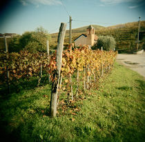Vineyard with a chapel in the background, Barbaresco, Piedmont Region, Italy von Panoramic Images