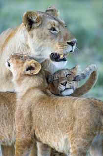 Close-up of a lioness and her two cubs von Panoramic Images