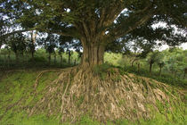 Weeping Fig tree (Ficus benjamina) in a field by Panoramic Images