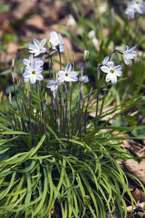 Star of bethlehem flowers (Ipheion uniflorum) in bloom, North Carolina, USA. by Panoramic Images