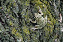 Greater gray tree frog (Hyla versicolor) on tree bark, close-up. by Panoramic Images