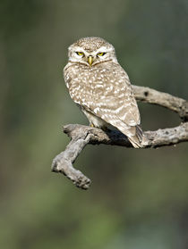 Close-up of a Spotted owlet (Strix occidentalis) perching on a tree by Panoramic Images