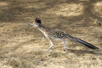 Road Runner In Motion by Panoramic Images