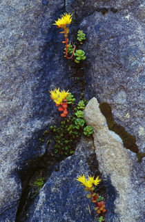 Wild stonecrop flowers or sedum blooming in rock crevice von Panoramic Images