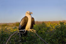 Magnificent frigatebird (Fregata magnificens) perching on the branch of a tree von Panoramic Images