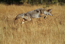Coyote leaping through autumn color grass von Panoramic Images