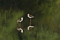 Close-up of two Black-Winged stilts (Himantopus himantopus) in water by Panoramic Images
