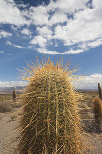 Cactus plants in a desert by Panoramic Images