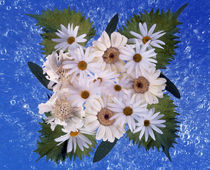 Close up of white daisy bouquet with mottled blue background by Panoramic Images