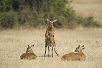 Ugandan kobs (Kobus kob thomasi) mating behavior sequence von Panoramic Images