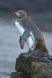 Galapagos penguin (Spheniscus mendiculus) on a rock, Galapagos Islands, Ecuador by Panoramic Images