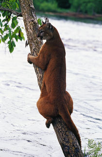 Female cougar perched on leaning tree trunk, Minnesota, USA. by Panoramic Images