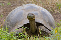 Close-up of a Galapagos Giant tortoise (Geochelone elephantopus) by Panoramic Images