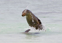 Galapagos sea lion (Zalophus wollebaeki) splashing water by Panoramic Images
