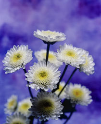 Selective focus close up of a bouquet of white and yellow chrysanthemums von Panoramic Images