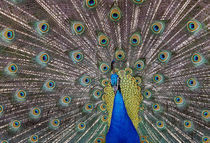 Peacock bird displaying feathers, portrait. by Panoramic Images