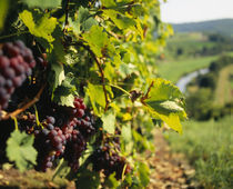 Close-up of a grape vine in a vineyard von Panoramic Images
