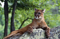 Female cougar lying on rock, Minnesota, USA. by Panoramic Images