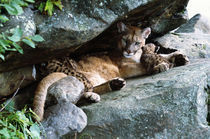 Female cougar lying under rock overhang with cubs, Minnesota, USA. by Panoramic Images