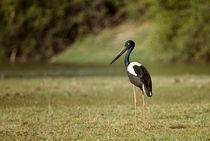 Close-up of a Black-Necked stork (Ephippiorhynchus asiaticus) von Panoramic Images