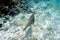 Galapagos sea lion (Zalophus wollebaeki) swimming underwater by Panoramic Images