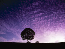 Silhouette of solitary tree with purple sunset by Panoramic Images
