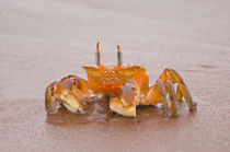 Close-up of a Ghost crab (Ocypode quadrata) on sand, Galapagos Islands, Ecuador by Panoramic Images