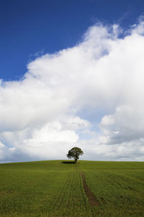 Oak Tree in Arable Field, Near Carlow, Co Carlow, Ireland von Panoramic Images