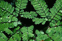 Maidenhair Fern (Adiantum Pedatum) von Panoramic Images