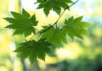 Close-up of maple leaves von Panoramic Images