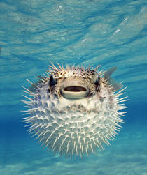 Close-up of a Puffer fish, Bahamas von Panoramic Images