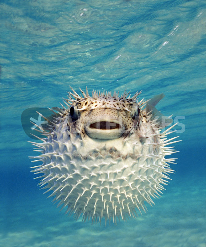 Close up of a puffer fish bahamas bild als poster und for Amazon puffer fish