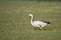 Close-up of a Bar-Headed goose (Anser indicus) by Panoramic Images