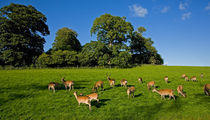Fallow Deer in the Demesne, Doneraile Court, County Cork, Ireland by Panoramic Images