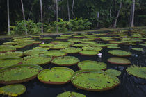 Victoria water lilies in a pond by Panoramic Images