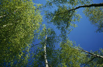 Low-angle view of birch tree canopy, blue sky, spring. by Panoramic Images