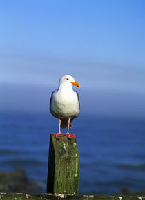 Western Gull Seabird On Post von Panoramic Images