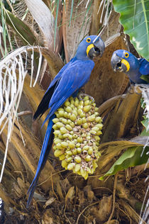 Hyacinth macaws (Anodorhynchus hyacinthinus) eating palm nuts von Panoramic Images