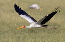 Yellow-billed stork flying above a field von Panoramic Images