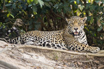 Jaguar (Panthera onca) resting on a rock by Panoramic Images
