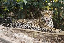 Jaguar (Panthera onca) resting on a rock von Panoramic Images