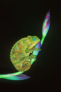 Close-up of a chameleon sitting on a flower, Tanzania by Panoramic Images