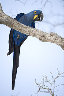 Hyacinth macaw (Anodorhynchus hyacinthinus) perching on a branch by Panoramic Images