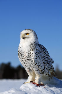 Snowy owl (Nyctea scandiaca) on snow perch, profile. by Panoramic Images
