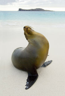 Galapagos sea lion (Zalophus wollebaeki) on the beach by Panoramic Images