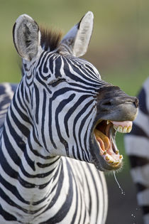 Close-up of a zebra calling by Panoramic Images