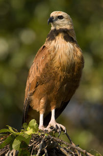 Close-up of a Black-Collared hawk (Busarellus nigricollis) by Panoramic Images