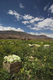 Lettuce crop in a field, Tilcara, Quebrada De Humahuaca, Argentina by Panoramic Images